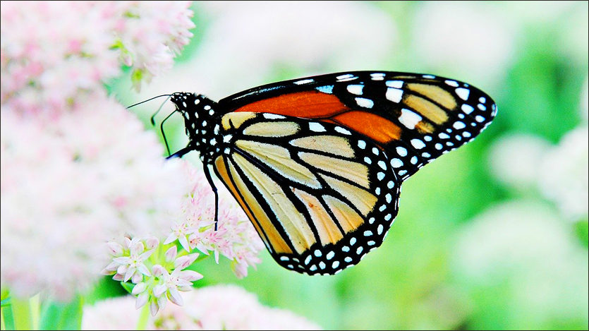 Rockwall Monarch Butterfly Event