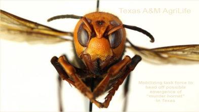 Asian Giant Hornet Texas