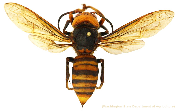 Top View Asian Giant Hornet